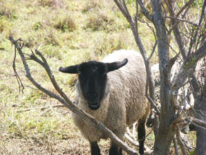 The Sea Ranch Sheep